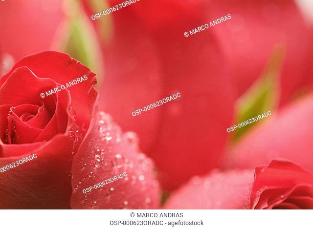 red wetted roses petals buds