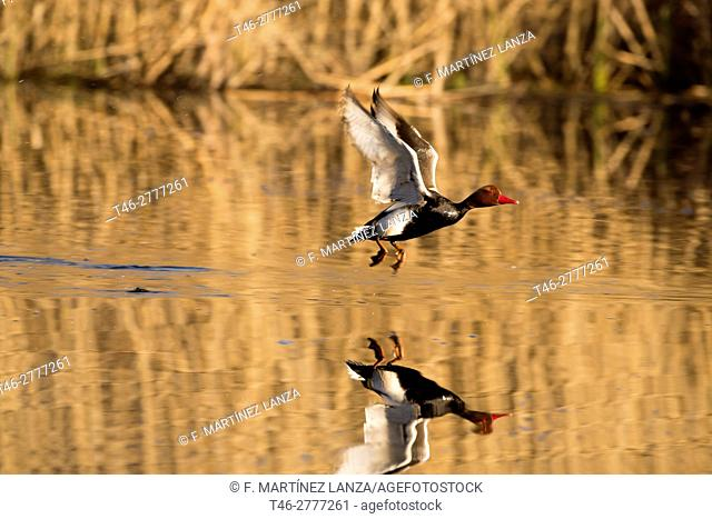Red-crested Pochard (Netta rufina). Photographed in Rivas Madrid