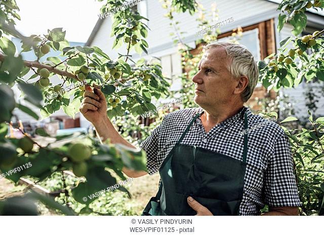 Gardener looking at apple tree in garden