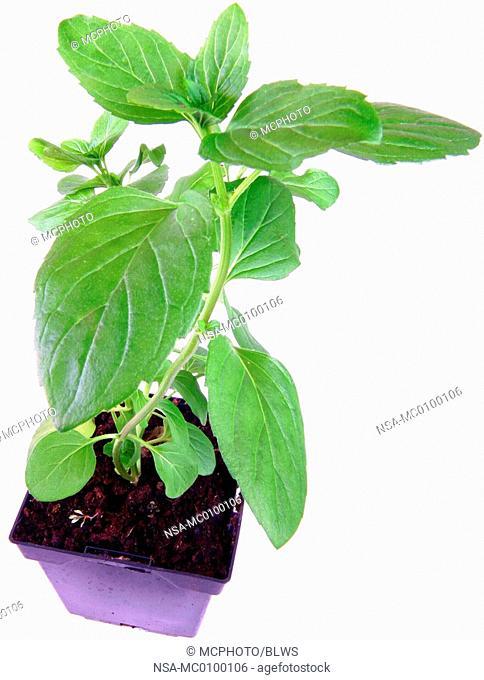 Mentha piperita var  citrata, Mentha aquatica 'Citrata', lemonmint, bergamot mint, orange mint