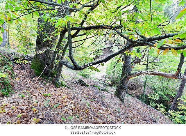 Chestnuts in Casillas. Avila. Castilla Leon. Spain. Europe