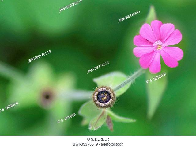 Red campion (Silene dioica), view into a vessel, Germany, Bavaria