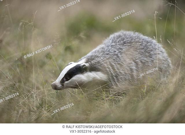 European Badger ( Meles meles ), adult animal, searching for food in high grass, strolling through a meadow.