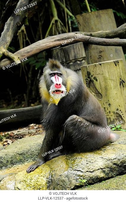 The sitting adult mandril in zoological garden