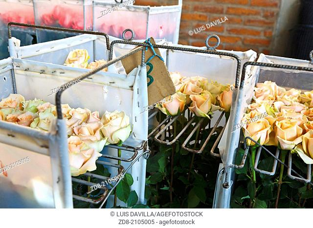 production of roses flowers in hacienda of the compañia. ecuador