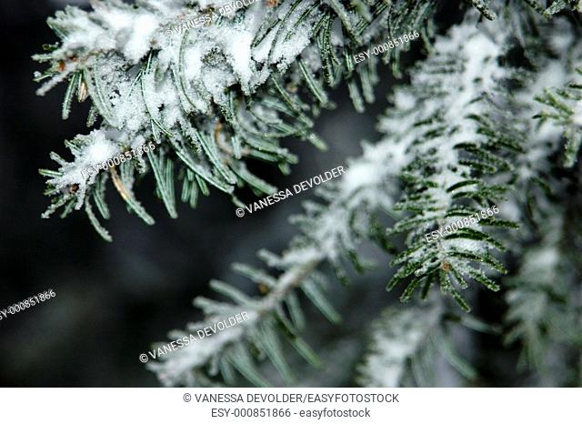 Pine-needles covered with snow