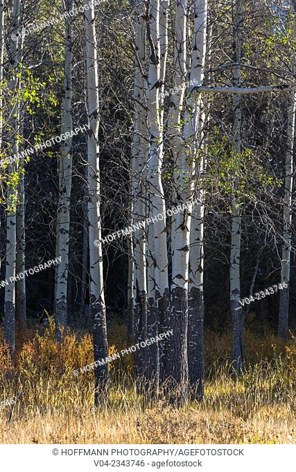 Close up of lots of birch trees at Hillside Meadows in the Banff National Park, Alberta, Canada