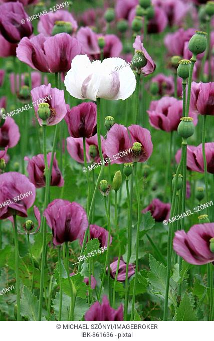 White Albino Blosom from Violet Field Poppy (Papaver rhoeas) in an agricultural field, Thurgau, Switzerland, Europe