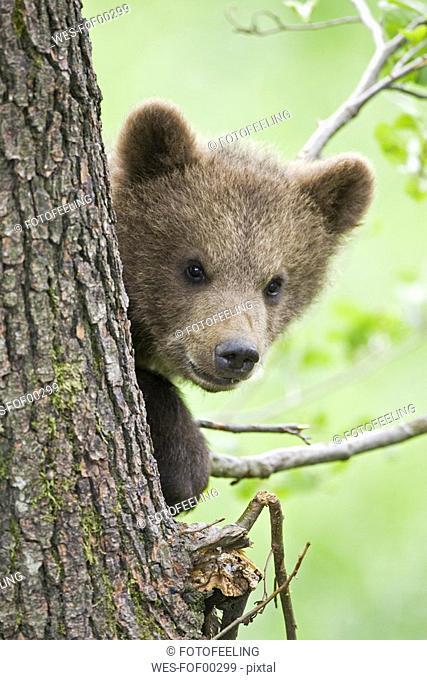 European Brown bear cub in tree Ursus arctos, close-up