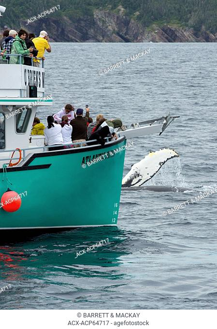 Whale watching, Humpback Whale, (Megaptera novaeangliae, Witless Bay Ecological Reserve, Newfoundland, Canada