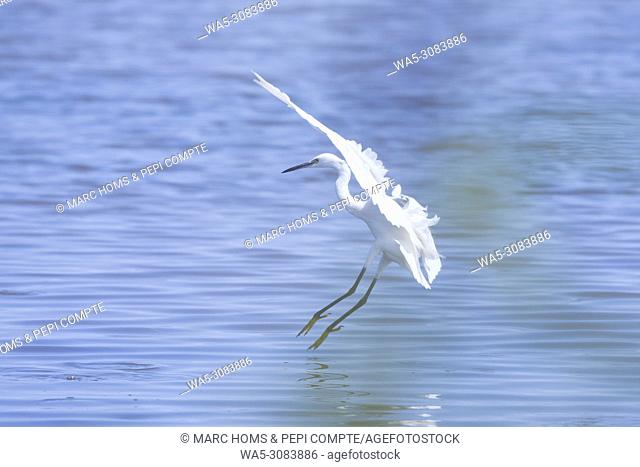 Egretta garzetta landing on water in Deltebre natural park in Catalonia, Spain