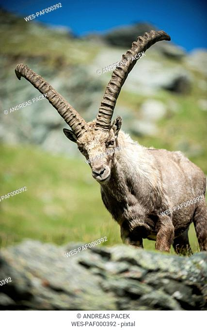 Austria, Grossglockner, Alpine Ibex, Capra ibex