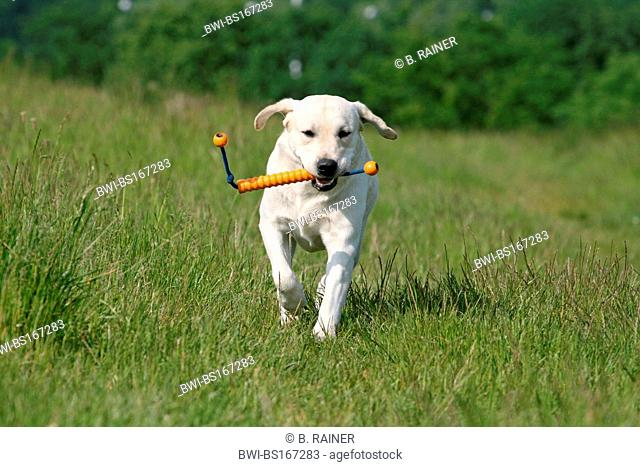 Labrador Retriever (Canis lupus f. familiaris), running over a meadow