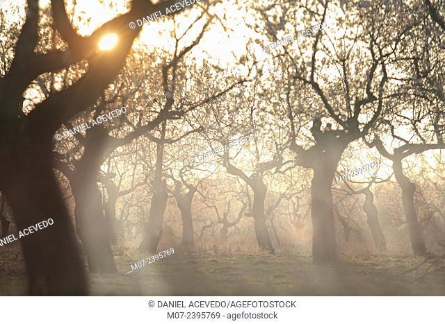 Foggy almond trees, Biosphere reserve, La Rioja, Spain, Europe