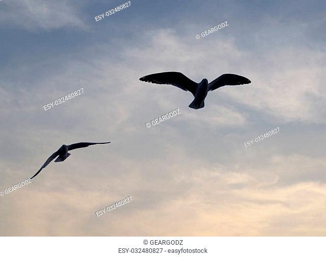 Seagull with sunset at Bang Pu beach, Thailand