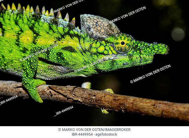 Antimena chameleon (Furcifer antimena), male, Reniala Reserve, Ifaty, Madagascar