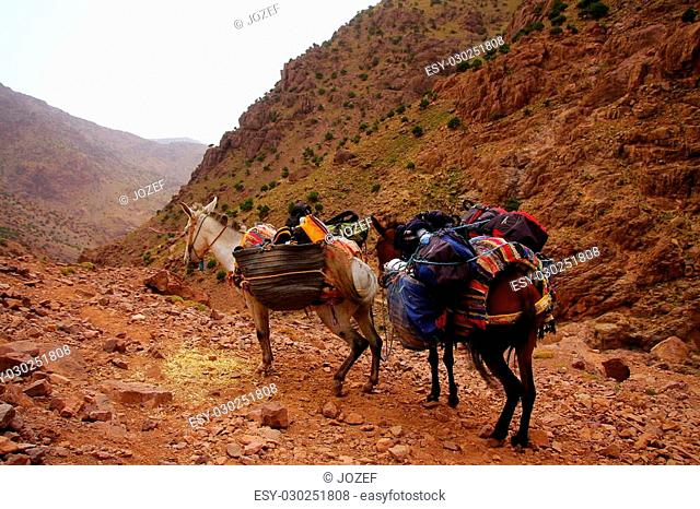 A pair of moroccan donkeys of white and braun resting with their carriage on the adventurous journey in rocky desert mountains