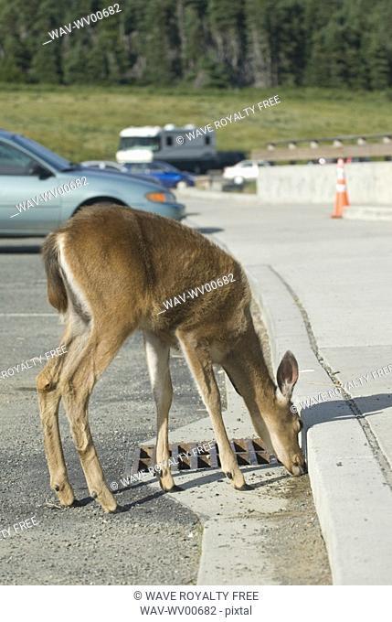 Mule deer licking salt off the road in a parking lot Olympic National Park, Hurricane Ridge, Washington, USA