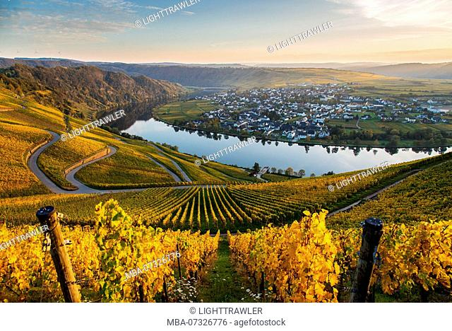The Moselle loop at Piesport with view of autumnal vineyards