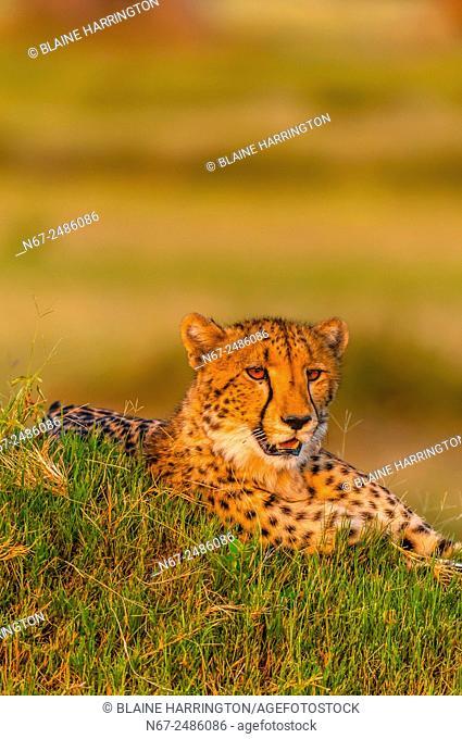 A cheetah on a mound, near Kwara Camp, Okavango Delta, Botswana