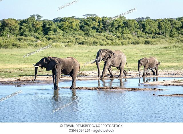 Elephants stop by a watering hole to get a drink in Hwange National Park. Hwange, Zimbabwe