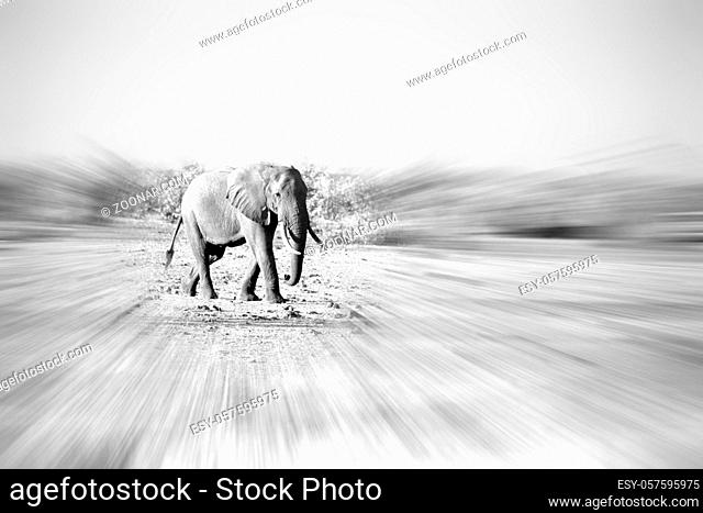 blur in south africa  kruger wildlife nature reserve and wild elephant