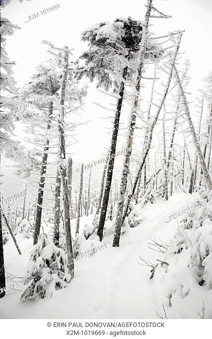 Snow covered forest along the Willey Range Trail in the White Mountains, New Hampshire USA during the winter months