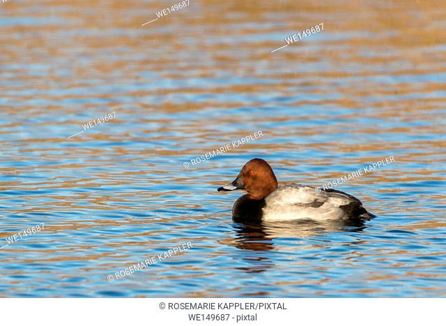 germany, saarland, homburg - A common pochard is swimming on a pond