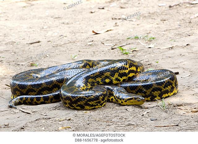 Brazil, Mato Grosso, Pantanal area, Green Anaconda  Eunectes murinus
