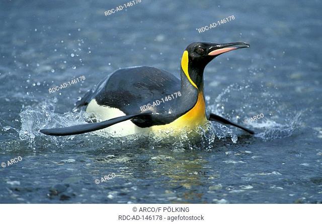 King Penguin Salisbury Plain South Georgia Aptenodytes patagonicus