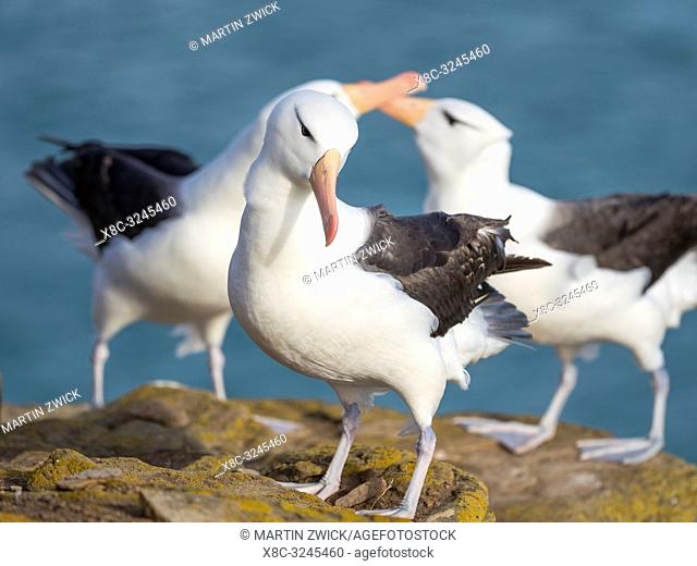 Black-browed albatross or black-browed mollymawk (Thalassarche melanophris), in the background a pair during typical courtship and greeting behaviour