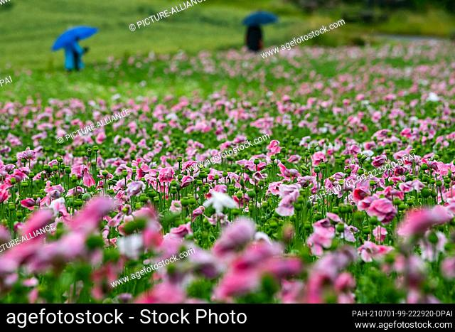 01 July 2021, Hessen, Germerode: Pink poppies bloom in rainy weather in the Geo-Naturpark Frau-Holle-Land. Every year the region is transformed into a colourful...