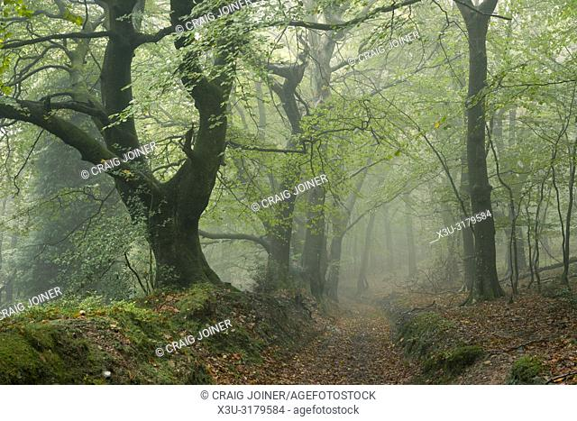 A misty broadleaf woodland in autumn at Dowsborough in the Quantock Hills, Somerset, England