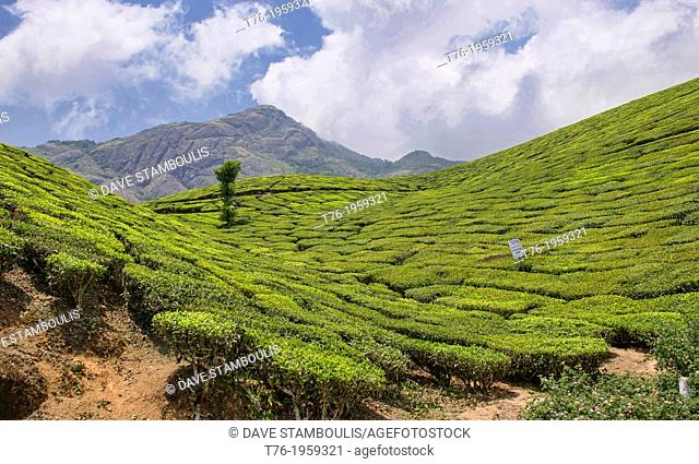 The beautiful tea plantations of Munnar, a hill station in Kerala, India