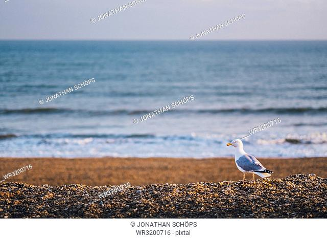 Seagull on the pebble beach, Brighton, England