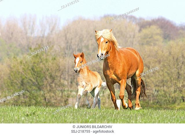 Icelandic horse. Chestnut mare with foal galloping on a meadow. Germany