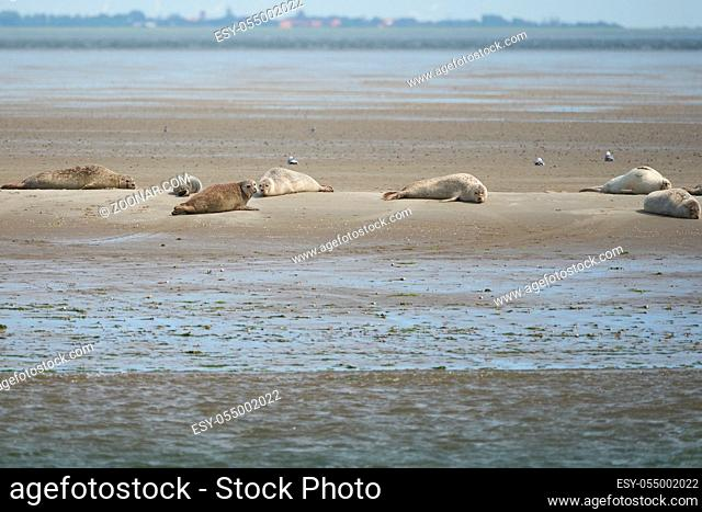 harbor or harbour seal Phoca vitulina also common seal and true seal . High quality photo