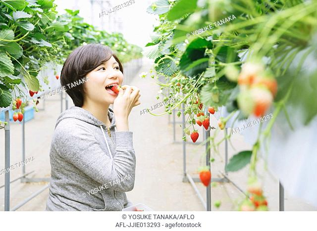 Young Japanese woman eating strawberries in a vinyl house