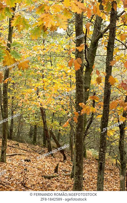 American Oak Forest at Lousã Mountain, Portugal
