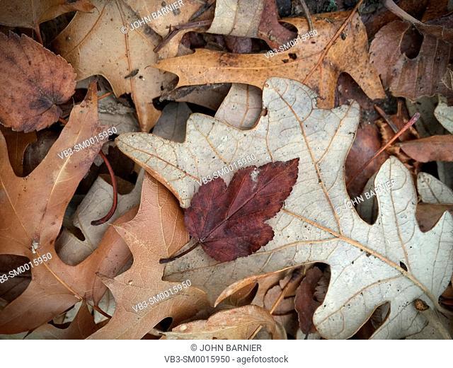 Dry fallen leaves in early winter