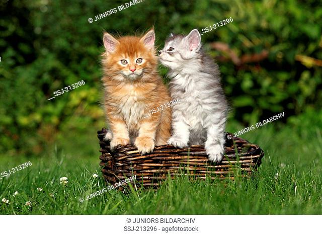 American Longhair, Maine Coon. Two kittens (6 weeks old) in a basket on a meadow. Germany