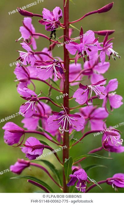Rosebay Willowherb (Chamerion angustifolium) close-up of flowers, Italian Alps, Italy, July