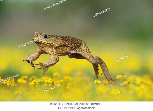 Cane Toad, Marine Toad, Giant Toad (Bufo marinus), adult jumping in Dogweed (Dyssodia pentachaeta), Laredo, Webb County, South Texas, USA, America