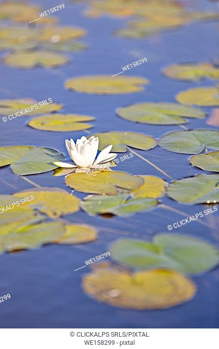 close up of waterlily, Traig Mhor, North Tolsta, Isle of Lewis, United Kingdom