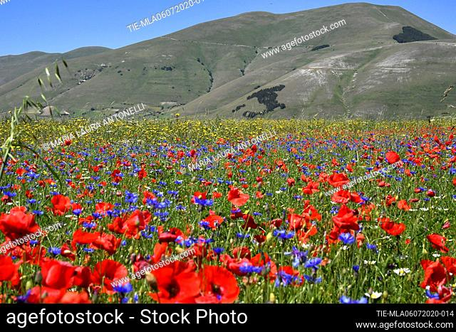 Poppies among the lentil bloom in the background the coniferous forest in the shape of Italy planted in 1961 on the occasion of the first centenary of the...