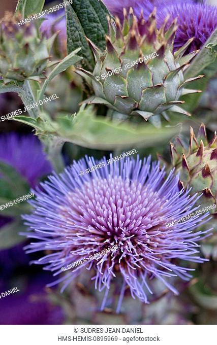 France, Vaucluse, Luberon, Apt, flowers chard on the farmer's market, price Duperret