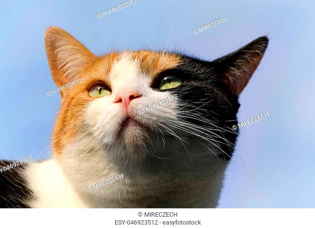 headshot of a calico cat with the blue sky in the background