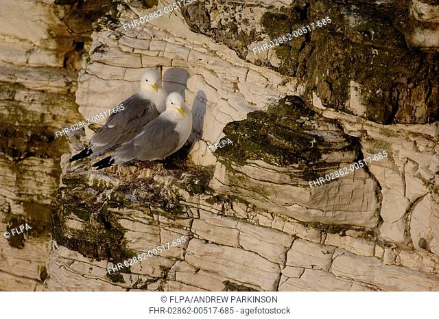 Kittiwake Rissa tridactyla adult breeding pair, standing at cliff nest, Bempton Cliffs RSPB Reserve, East Yorkshire, England, may