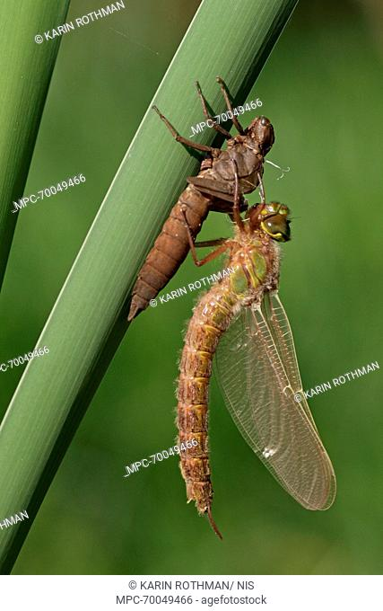 Hairy Dragonfly (Brachytron pratense) metamorphosing, Overijssel, Netherlands. Sequence 12 of 13
