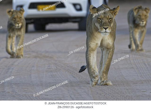 African lions (Panthera leo), lioness with two young males walking on a dirt road at dusk, tourist vehicle behind, Kgalagadi Transfrontier Park, Northern Cape